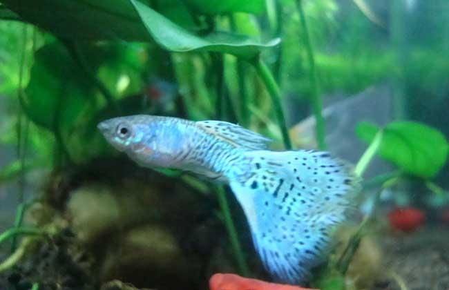 蛇王孔雀鱼