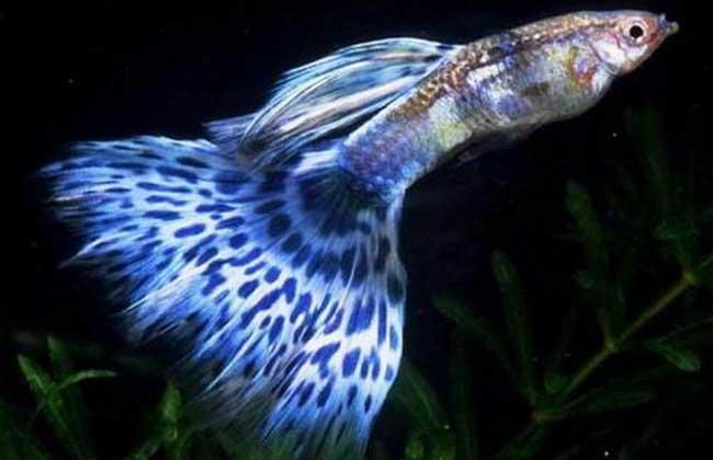 金属孔雀鱼