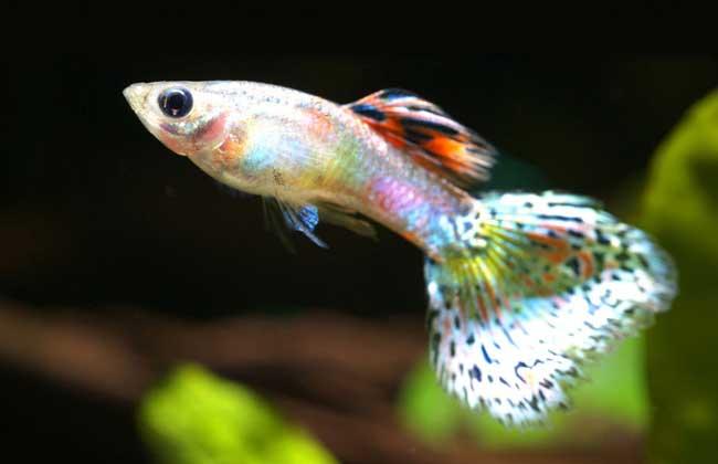 孔雀鱼怎么分公母