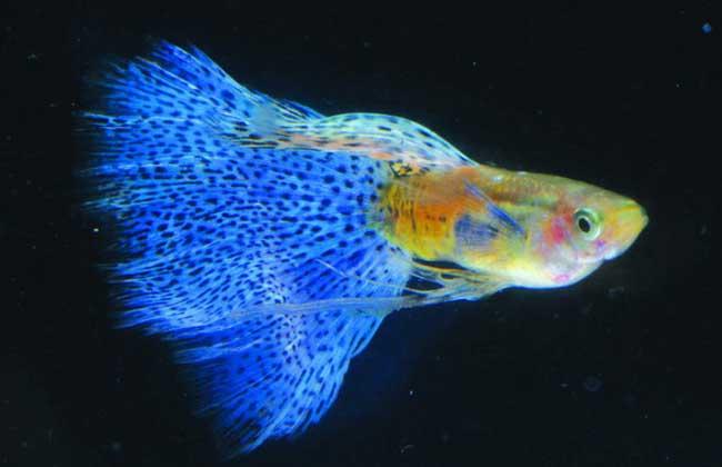 孔雀鱼的寿命有多长