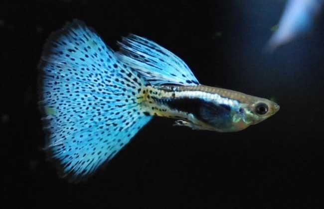 孔雀鱼和什么鱼混养