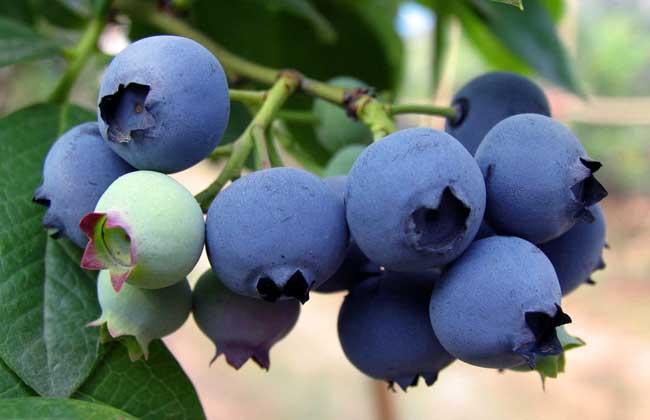 蓝莓的产地分布
