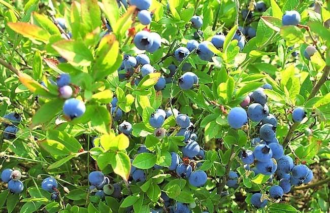 野生蓝莓怎么吃