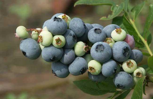 蓝莓品种图片大全(2)