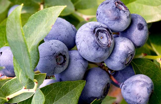 蓝莓价格多少钱一斤