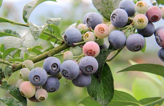孕妇能吃蓝莓吗