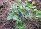 蓝莓的扦插繁殖方法