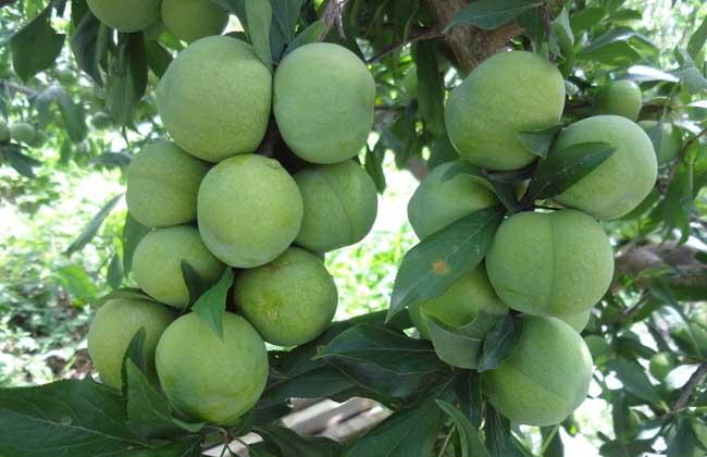 李子树病虫害防治技术