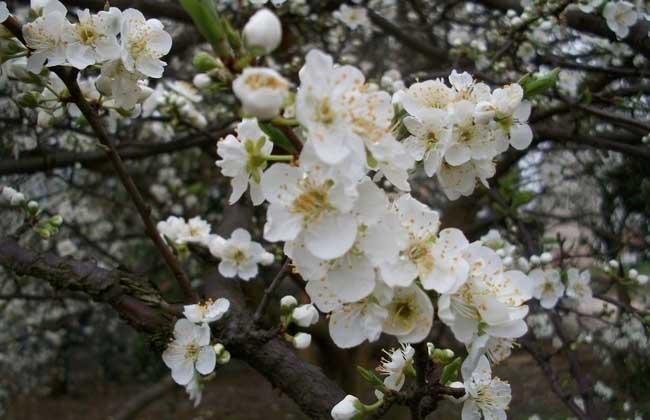 杏子树嫁接技术图解