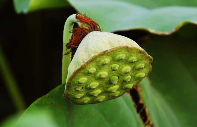 莲藕的种植技术