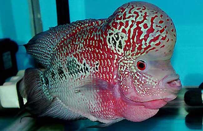 罗汉鱼品种大全
