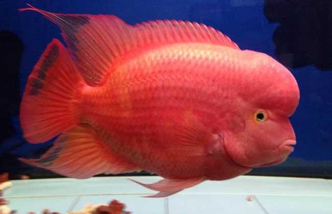 红马罗汉鱼