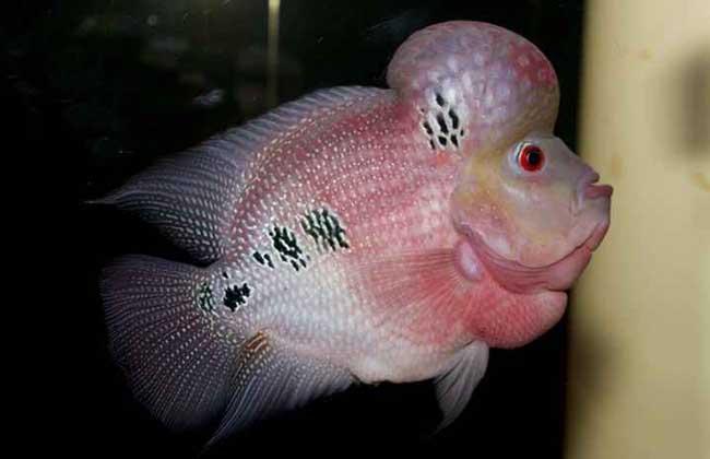 罗汉鱼品种图片大全