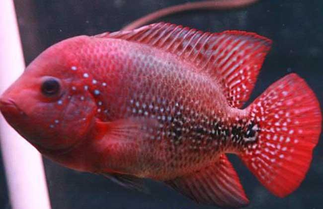 金花罗汉鱼图片