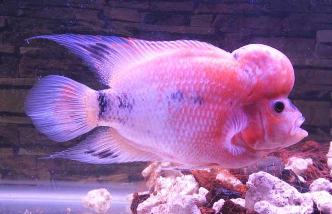 罗汉鱼的寿命有多长