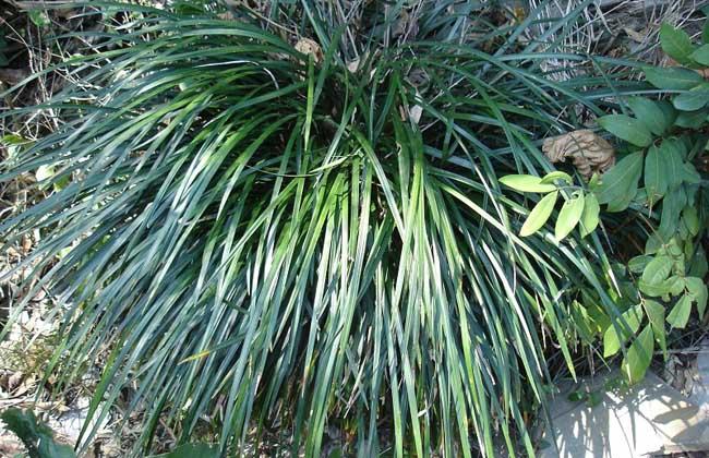 麦冬种类图片