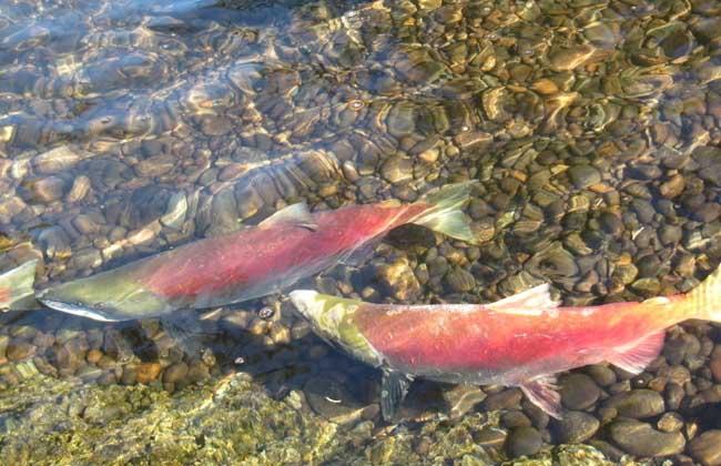 三文鱼的产地分布