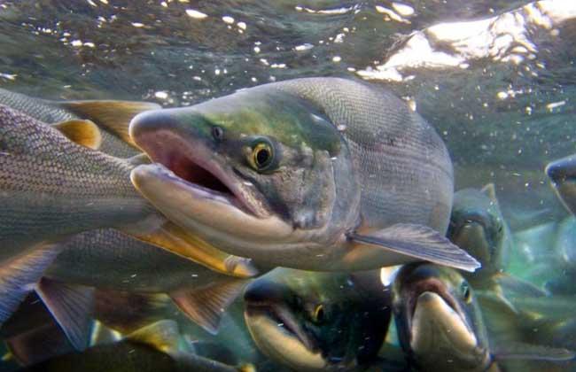 美国三文鱼