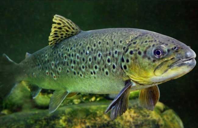 三文鱼养殖技术