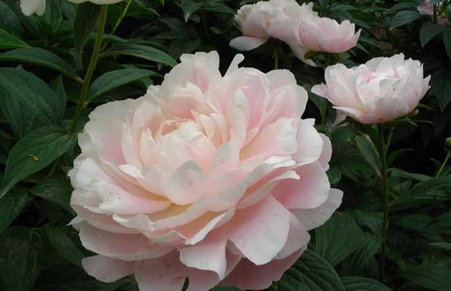 芍药的花期和花语