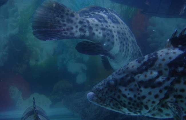 石斑鱼的网箱养殖
