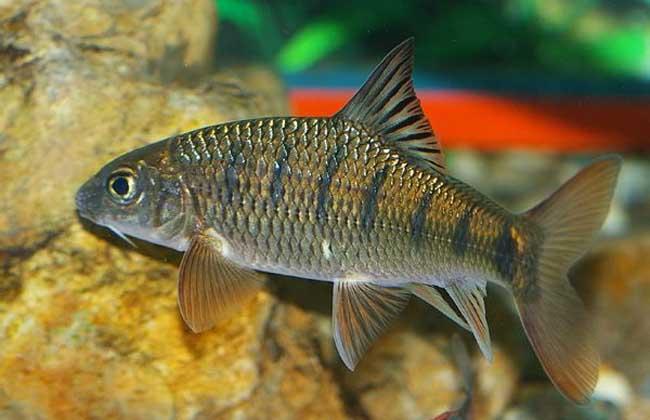 淡水石斑鱼图片