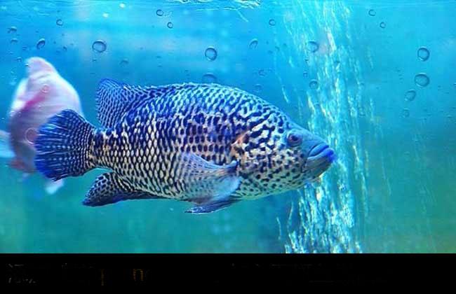 石斑鱼价格多少钱一斤