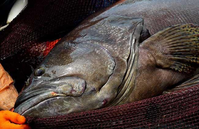 巨型石斑鱼图片