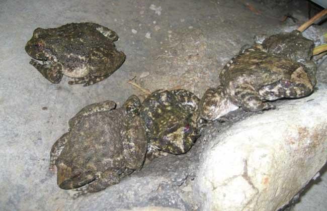 石蛙的养殖技术