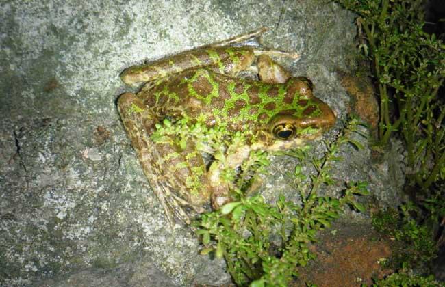 石蛙吃什么食物