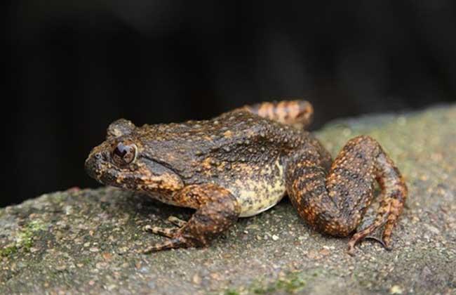 石蛙的生长过程