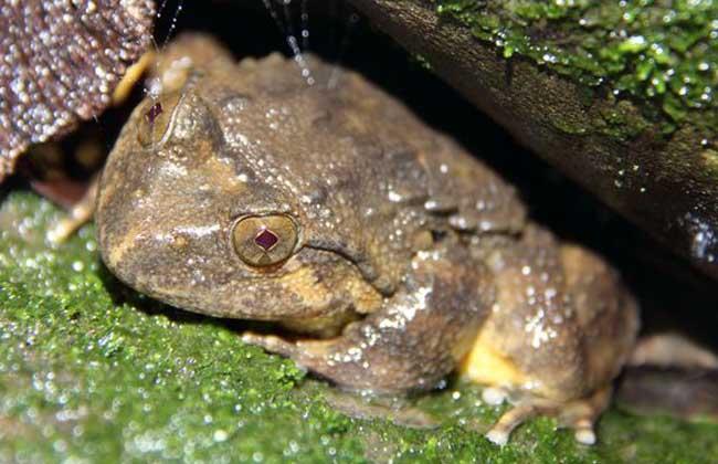 石蛙和牛蛙的区别