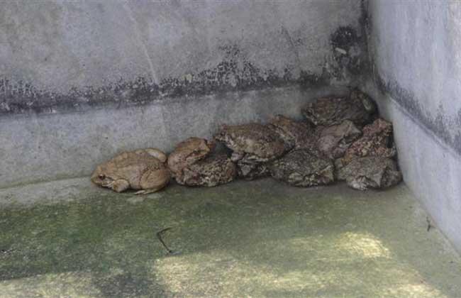石蛙的生长习性