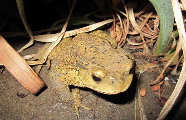 石蛙和蟾蜍的区别