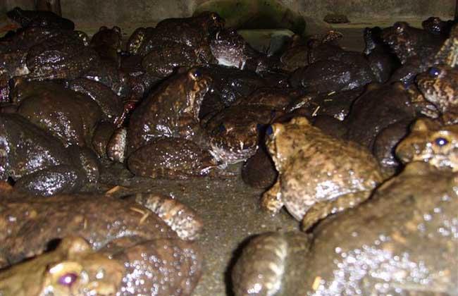 石蛙养殖技术