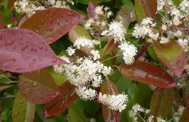 红叶石楠品种图片大全