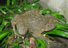 石蛙的市场价格