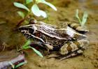 石蛙和青蛙的区别