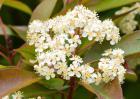 石楠花的味道和花语