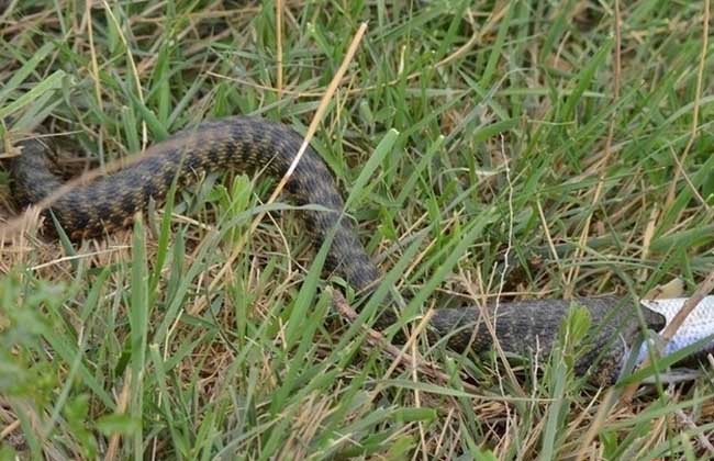 水蛇有毒吗
