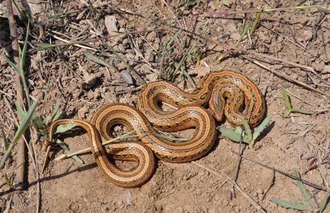 红点锦蛇图片