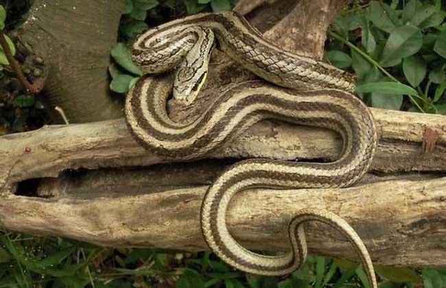 双斑锦蛇有毒吗
