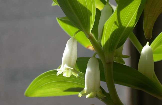 玉竹的市场价格