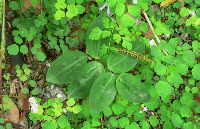 玉竹的繁殖方法