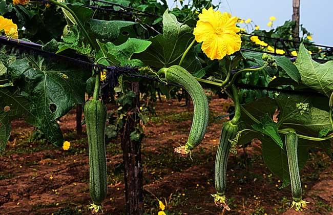 丝瓜的种植技术