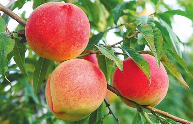 孕妇吃桃子的好处