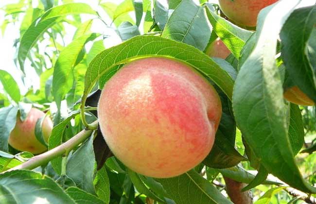 桃子吃多了会怎么样