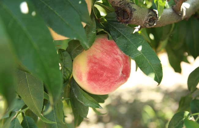 桃的种类图片大全