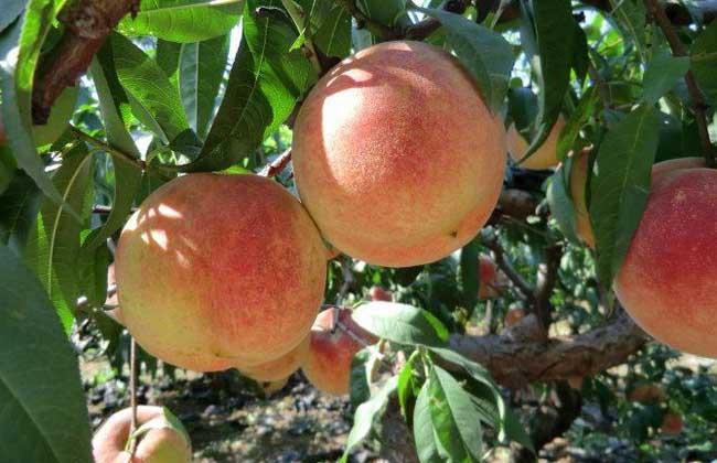吃桃子有什么好处