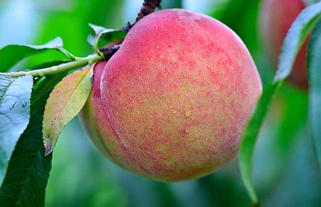 哪些人不适合吃桃子